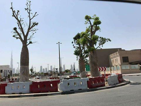 """موقع بريطاني: الإمارات تسرق أشجار """"دم الأخوين"""" المهددة بالانقراض من جزيرة سقطرى (ترجمة خاصة)"""