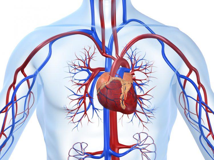 لماذا لا يوجد القلب في الجانب الأيمن من الصدر؟ ماهي القوى الغامضة التي تدفعه يساراً؟!