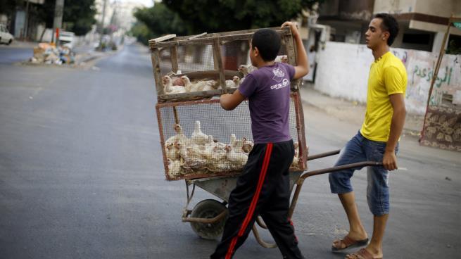 مصر: سخرية واسعة من حظر بيع الدواجن الحية