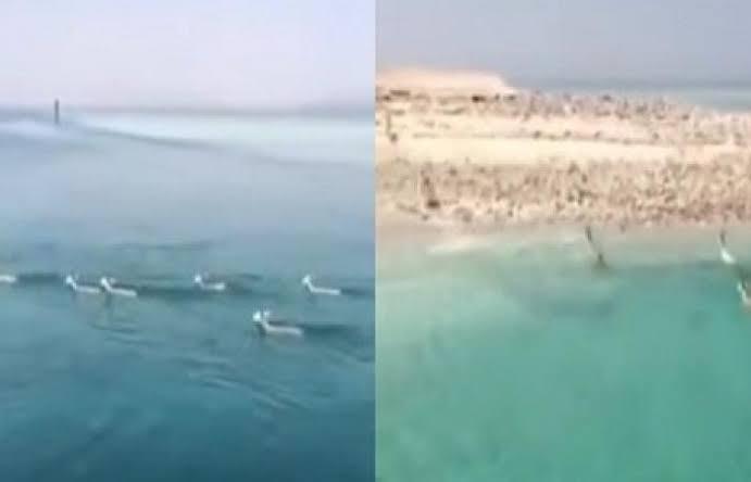 بالفيديو.. قطيع غزلان هاجر بحرًا من أفريقيا وحط بتبوك السعودية