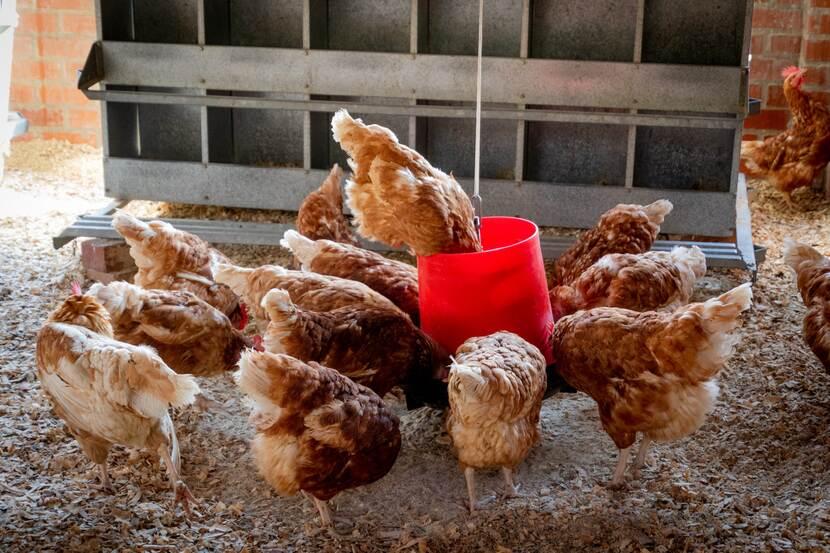 """تفاصيل انتشار انفلونزا الطيور من نوع """"H5N8"""" في السعودية.. ووزارة الزراعة والبيئة تصدر هذا التنبيه"""