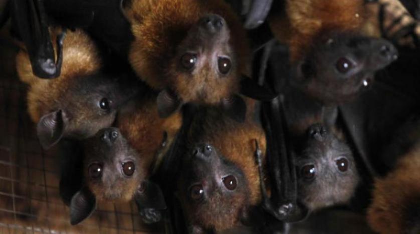 """صحيفة """"ديلي ميل"""" البريطانية: العثور على نوع جديد من فيروسات كورونا في خفافيش بريطانية"""